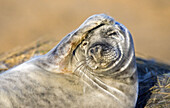 Grey Seal Halichoerus grypus at Donna Nook,  Lincolnshire,  England,  UK