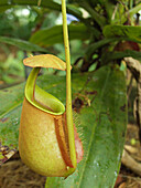 And, Asia, Botany, Carnivorous, Close, Close-up, Closeup, Color, Colour, Daytime, Detail, Details, Exterior, Focus, Garden, Green, Kota, Locations, Malaysia, Nature, Nepenthes, Orchid, Outdoor, Outdoors, Outside, Pitch, Pitcher, Pitching, Plant, Plants, S