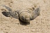 Baby, Biology, Born, Close-up, Color, Colour, Conservation, Ecology, Horizontal, Life, Lora, Marine, Marine life, Mexico, Rising, Sand, Shore, Tecolutla, Turtle, Veracruz, Wild, V03-839683, agefotostock