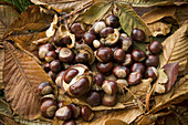 pile of Conkers on the ground (horse chestnut  _ Aesculus hippocastanum)