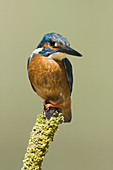 Common Kingfisher,  Alcedo atthis,  male  Turia river natural park,  Valencia province,  Comunidad valenciana,  Spain