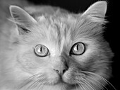 Animal, Animals, b&w, black-and-white, Cat, Cats, Close up, Close-up, Closeup, Contemporary, Domestic animal, Domestic animals, Domestic cat, Domestic cats, face, faces, Facing camera, Feline, Felines, Felis catus, headshot, headshots, indoor, indoors, in