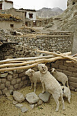 Stable of sheep Alchi,  Ladakh,  India