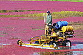 Man on farm equipment in flooded New England bog harvesting cranberries