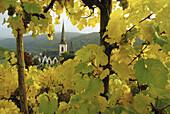 Blick aus den Weinbergen auf den Kirchturm St.Martin, Ediger-Eller, Mosel, Rheinland-Pfalz, Deutschland