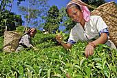 Women plucking tea at Makaibari tea plantation, Darjeeling, West Bengal, India, Asia