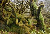 Mossy trees at rain forest, Trek towards Gocha La in Kangchenjunga region, Sikkim, Himalaya, Northern India, Asia