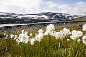 Cotton grass under clouded sky in late summer, Rallarvegen,  Hardangervidda, Hordaland, South of Norway, Scandinavia, Europe