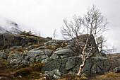 Birch standing in foggy rocky landscape, Hardangervidda, Hordaland, Norway, Scandinavia, Europe