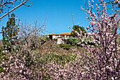 House and almond blossom in the sunlight, El Jesus, La Palma, Canary Islands, Spain, Europe