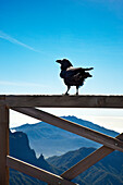 Raven on a railing, Caldera de Taburiente, Parque Nacional de Taburiente, La Palma, Canary Islands, Spain, Europe