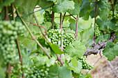 Weinstock mit Weintrauben bei Baden-Baden, Baden-Württemberg, Deutschland
