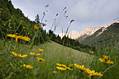 View over meadow with flowers to mountain ridge Wilder Kaiser, Kaisertal, Ebbs, Tyrol, Austria