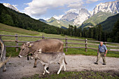 Farm servant and cows, farm Hinterkaiserhof, Kaisertal, Ebbs, Tyrol, Austria