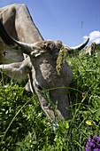 Milk cow grazing, Hinterstein Valley, Bad Hindelang, Allgau, Swabia, Bavaria, Germany