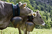 Milk cows with cow bells, Hinterstein Valley, Bad Hindelang, Allgau, Swabia, Bavaria, Germany
