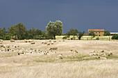 Flock of sheep in a meadow near Sovana, Tuscany, Italy