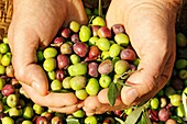 Harvesting olives  arbequina variety), Lleida, Catalonia, Spain