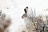 Lievre de Townsend - Lievre a queue blanche - Whitetail Jackrabbit - Lepus townsendii