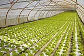 Lettuces in greenhouse, Nuarbe, Azpeitia, Guipuzcoa, Basque Country, Spain