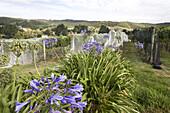 Weinanbau auf der Insel Waiheke im Hauraki-Golf, Region Auckland, Neuseeland