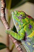 Minor´s Chameleon, Furcifer minor, female, Madagascar