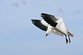 Snow Goose  Chen caerulescens), Bosque del Apache National Wildlife Refuge, New Mexico, USA