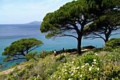 F, Frankreich, Mittelmeer, Cote d´Azur, St  Tropez, Küste, Pinus pinea