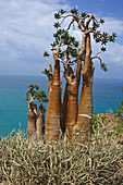 Desert-rose  Adenium obesum socotranum), Socotra island, Yemen