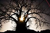 Backlit baobab tree at sunset, La Falaise de Bandiagara, Mali, Africa