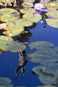 Reflection of a statue in the pond, Garden of the baroque Palazzo Borromeo, Isola Bella, Lago Maggiore, Piedmont, Italy