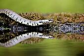 Grass snake Natirx natrix adult on edge of pond showing reflection  UK  June 2009