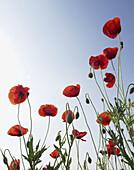 Red Poppy, Papaver rhoeas in flower meadow, Bulgaria