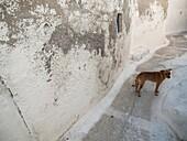 Dog walks in Emporio, Santorini, Greece