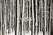 Aussen, Baum, Bäume, Baumstamm, Baumstämme, Bedeckt, Deutschland, Draussen, Europa, Farbe, Hintergründe, Hintergrund, Horizontal, Jahreszeit, Jahreszeiten, Landschaft, Landschaften, Natur, Schnee, Schneebedeckt, schneebedeckt, Stamm, Stämme, Tageszeit, Ve