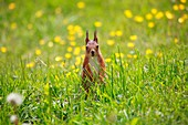 Red squirrel Sciurus vulgaris sitting on a lawn in Sweden