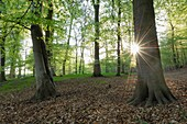 Spring forest with sun in backlight, lensflare  Mecklenburg-Western Pomerania, Germany, Europe