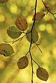 Beech branches with autumn leaves, Hesse, Germany, Europe