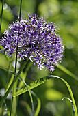 Allium rosenbacherianum in the garden