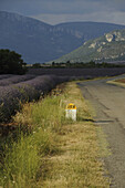 Blooming lavender in front of the mountains of the Haute Provence with country road and road marking on the sunny plateau of Valensole, Provence, France, Europe
