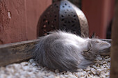 Kitten sleeping by the entrance of a Riad, Marrakech, Morocco, Africa