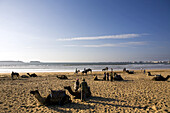 Camels having a rest on the beach, Atlantic Ocean, Essouira, Morocco, Africa