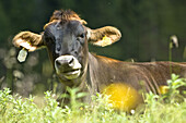 Cattle on alpine pasture, Wurzeralm, Upper Austria, Austria