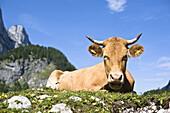 Cattle on alpine pasture, Gosaukamm in background, Gosausee, Salzkammergut, Upper Austria, Austria