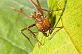 Leafcutter ant cutting leagves, Atta cephalotes, rainforest, Costa Rica, Central America