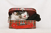 Three young cats in a toy suitcase, Felis catus, Germany