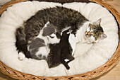 Domestic cat with young kittens in a basket, Germany