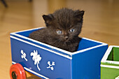 Young domestic cat, kitten sitting in a toy train, Germany