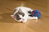 young domestic cat, kitten playing with ball, Germany