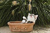 Domestic cat, kitten playing with flowers, Germany